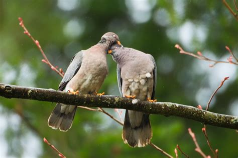 band tailed pigeon birdnote