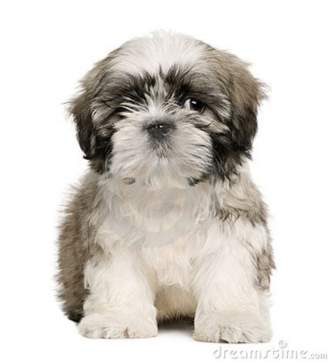 how to my shih tzu puppy to sit shih tzu puppy 9 weeks sitting stock image image 12485601