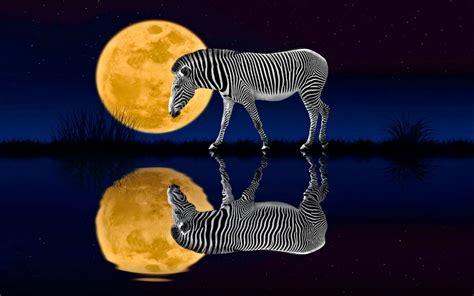 night zebra full moon reflected   water desktop