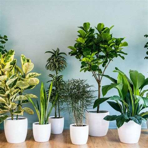 climbing vines indoors tips for growing common indoor best 25 rubber plant care ideas on pinterest