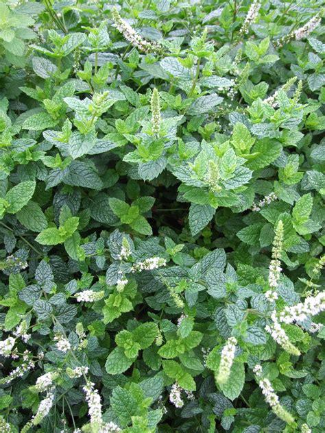 Tanaman Herban Daun Mint Tanaman Daun Mint Asli gambar menanam bunga herba taman daun mint mojito belukar tanaman berbunga tanaman
