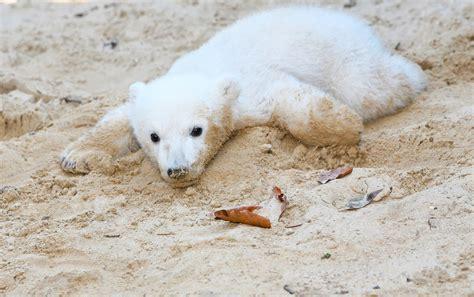 oso polar oso polar 080506902x resuelto el misterio de la enfermedad del oso polar knut noticias sinc