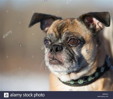 boston terrier crossed with pug bugg cross between boston terrier and pug stock photo royalty free image