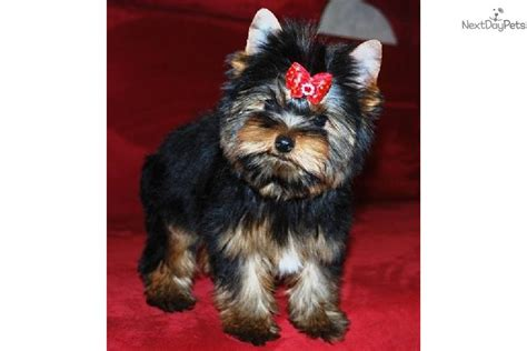 yorkie prices pin terrier teacup price on
