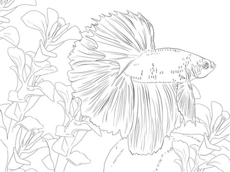 coloring pages betta fish betta fish coloring page supercoloring com