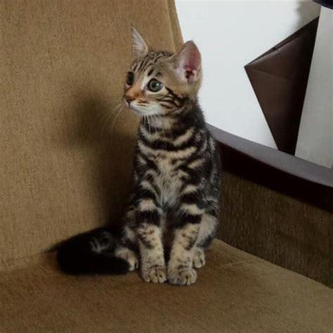 Jual Hair Dryer Untuk Kucing jual kucing jual kitten anggora himalaya maine