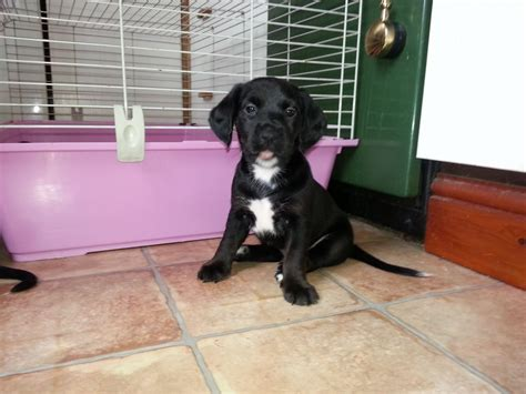 cocker spaniel mix puppies for sale dogs for sale cocker spaniel mixed slough berkshire pets4homes