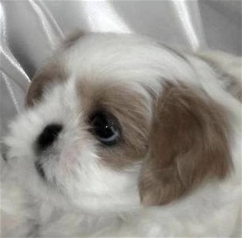 lavender shih tzu absolutely adorable lavender blue shih tzu puppies 8 weeks for sale in clinton