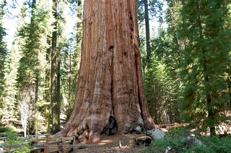 general sherman tree sequoia national park in california general sherman tree in sequoia national park desktop