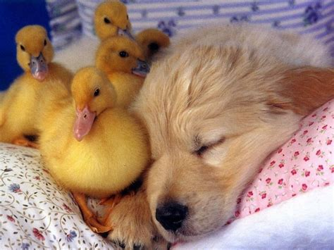 puppy with baby sleeping puppy with baby ducks baby animals puppys sweet and sleeping