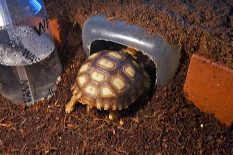 sulcata tortoise bedding tips interesting sulcata tortoise habitat for outdoor pet