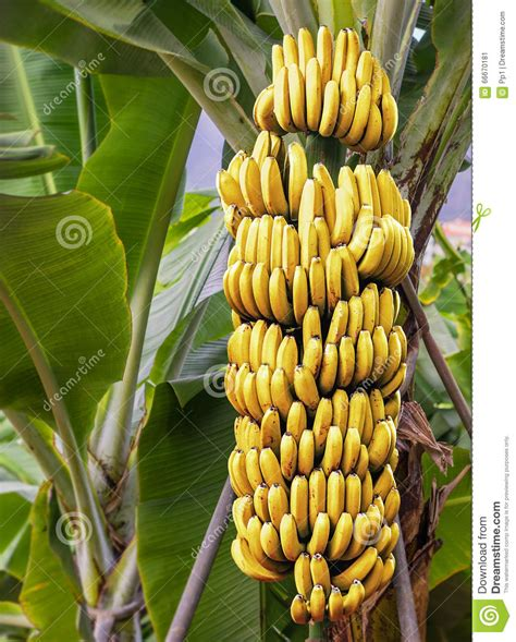 bananas on tree overview for mybreathismintyfresh