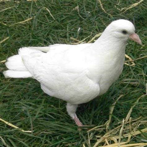 garden white dove baby white dove fantail doves for sale