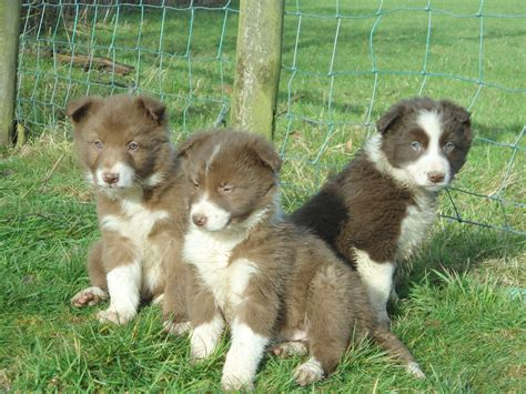 brown border collie puppies brown border collie puppies