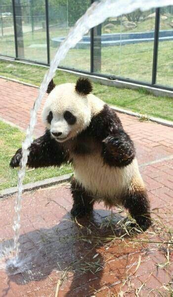 Sprei 180 Panda 799 best images about critterz pandas on san