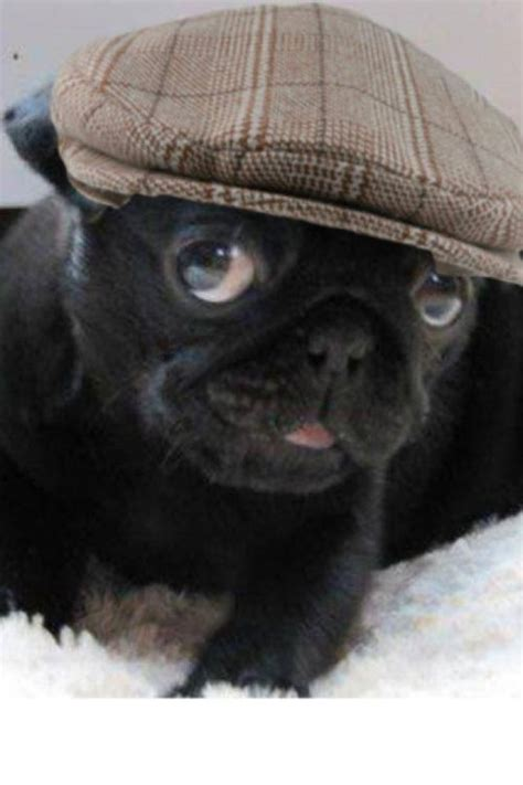 pug with hat pug got his hat puppied doggies