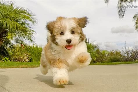 havanese san diego havanese puppy for sale near san diego california dc74d4fd bf81