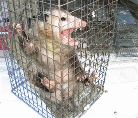 get rid of possums in backyard how to get rid of opossums steps and tips