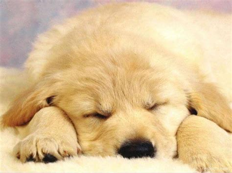 puppy sleeps all the time puppy sleeping taking cuteness to the max sharesloth