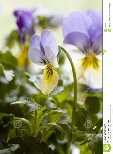 4 flores azules para jard pensamientos amarillos y azules imagen de archivo imagen