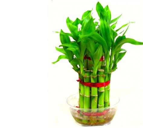 indoor bamboo plant food bamboo plant bamboo for privacy