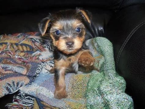 teacup silky terrier puppies for sale best 25 teacup terrier ideas on teacup terrier