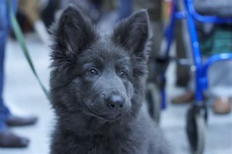 blue german shepherd puppies blue german shepherd puppy yes