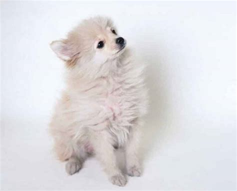 pomeranian temperament facts pomeranian breed information facts pictures temperament and characteristics