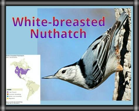 cool facts the white breasted nuthatch is normally