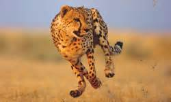 How Fast Is A Jaguar What Makes A Cheetah Run So Fast Howstuffworks