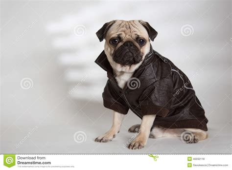 pug leather jacket with a brown jacket stock photo image 40032118