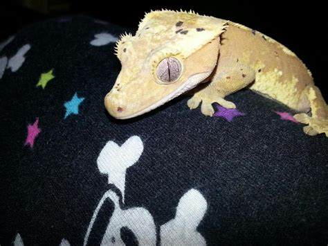 do geckos change color do crested geckos change color