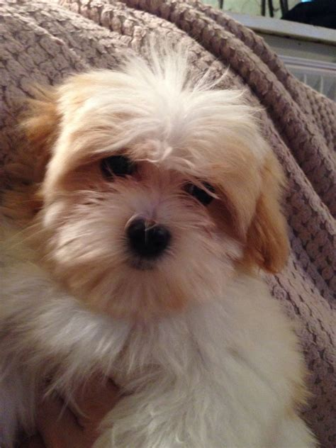 havanese coton de tulear havanese coton de tulear cleckheaton west pets4homes