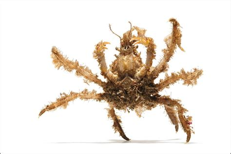 Graceful Decorator Crab by Gorgeous Portraits Of Spineless Sea Creatures Arts