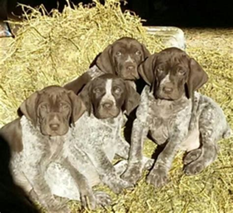 german shorthair puppies for sale in wisconsin view ad german shorthaired pointer puppy for sale wisconsin dodgeville