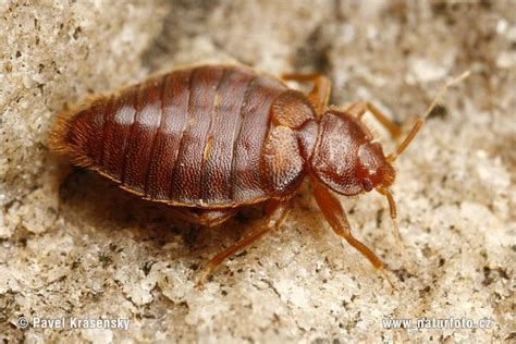 bed bugs exterminators exterminators nyc bed bug gallery