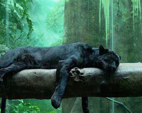 black panther animal desktop wallpaper black panther wild animal black jaguar animal wallpaper