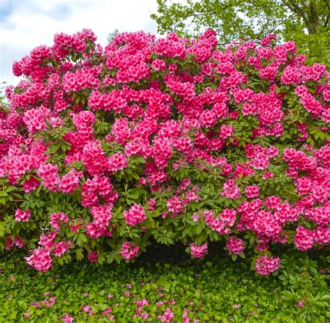 arbustos de jardin con flor plantar y mantener arbustos de flor kb jard 237 n consejos