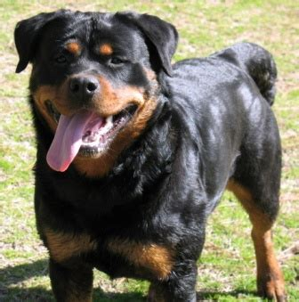 stoney creek rottweilers stoney creek rottweilers our dogs