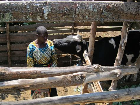 Bridge To Africa Finds For A Cause by Cow Owner In Isonje Tanzania Find