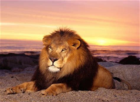 imágenes de leones juntos imagenes de leones imagen leon sentado junto al atardecer