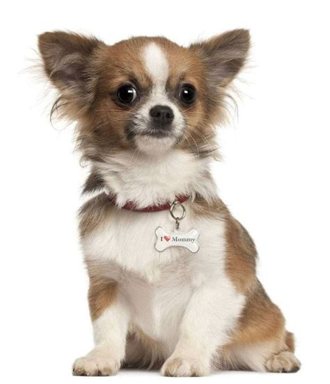 long hair chihuahua hair growth what to expect 1000 ideas about chihuahua love on pinterest chihuahuas