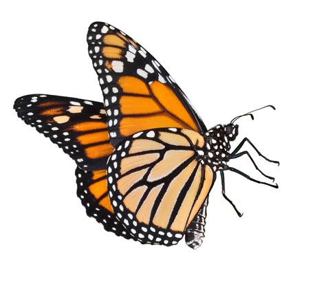 monarch butterfly monarch butterfly outline cliparts co