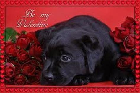 black valentines day black labrador s day photo and wallpaper