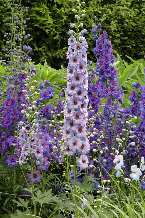 delphinium planting how to grow delphinium flowers