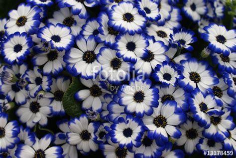 immagini di fiori bianchi quot fiori bianchi e quot immagini e fotografie royalty free