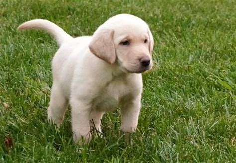 lab puppies for sale in idaho silvermist labrador retrievers silver charcoal yellow chocolate black lab puppies