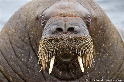 Walrus | The Most Fascinating Animal In The World | The ...