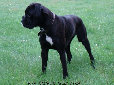 black boxer puppies for sale black boxer breeders images