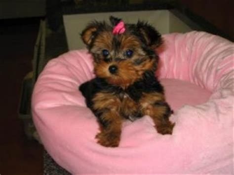 yorkie puppies knoxville tn dogs knoxville tn free classified ads